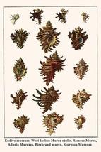 Endive murexes, West Indian Murex shells, Ramose Murex, Adusta Murexes, Firebran - $19.99+