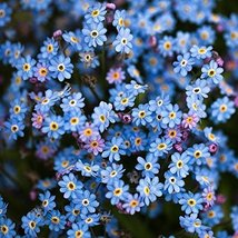 1/2 Grams Packets of Forget-Me-Not Flower Plants - $13.27