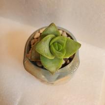 "Succulent in Ceramic Owl Planter, Crassula String of Buttons, 2.5"" Animal Pot image 2"