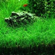 2002 DFEB 2017 Water Grass Seeds 1000Pcs/Pack Garden Aquatic Plant Decor - $2.00