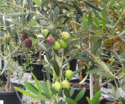Olea europaea - Coratina Olive Tree Live Plant - Garden & Outdoor Living - $50.00