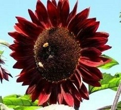 SUNFLOWER Moulin Rouge 10 seeds - $6.71