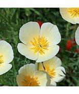 Non GMO Bulk California Poppy Seeds - White Linen Eschscholzia californi... - $32.62