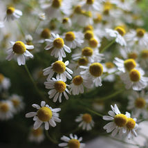 Common Chamomile Seeds Edible Flower Seeds - $8.99