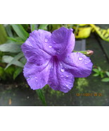 BLUE MEXICAN RULLIA PETUNIA STARTER PLANT NICE PLANTS - $4.95
