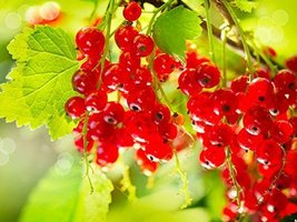 5 Cuttings of Red Lake Currant - $23.76