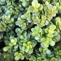 1,2,3 Cutting - Dwarf Baby Jade Crassula Minor Compacta Crosbys Compact #LRNG12 - $19.99+