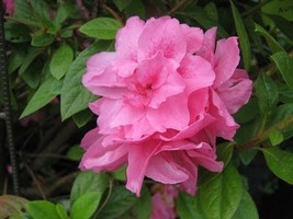 1 Starter Plant of Autumn Carnation Encore Azalea - 1 Gallon - $83.10