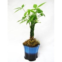 5 Money Tree Plants Braided Into 1 Tree 3.5 Ceramic Pot Homes Offices In... - €29,91 EUR