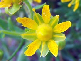 20 Saxifraga aizoides Seeds,yellow mountain saxifrage or yellow saxifrage, - $8.95