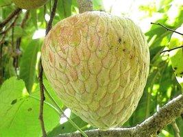 Jamaican Custard Apple Tree (10 Seeds) AKA bullock's Heart,Jamaican Apple - $18.99