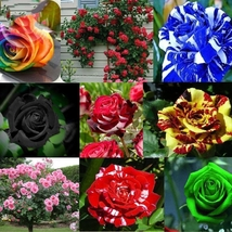 Rare Mixed 12 Types Heirloom Rose Shrub Flowers Seeds 50 seeds Home and garden  - $5.90