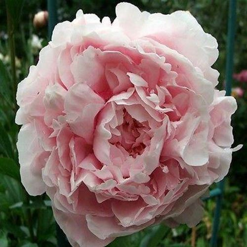 Primary image for SHIP FROM USA Peony Pale Rose Flower Seeds (Papaver Paeoniflorum) 400+Seeds UDS