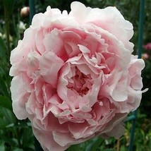 SHIP FROM USA Peony Pale Rose Flower Seeds (Papaver Paeoniflorum) 400+Se... - $38.21