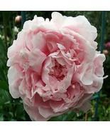 SHIP FROM USA Peony Pale Rose Flower Seeds (Papaver Paeoniflorum) 400+Seeds UDS - $38.21