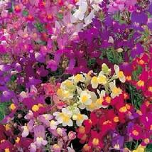 50 Seeds Dark Leaved - Mix Antirrhinum Snapdragon Flower - $9.45