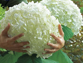15pcs Very Exotic Hydrangea arborescens White Flower Seeds IMA1 - $14.87