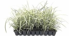 Aztec Grass - 3 Live Plants - Variegated Liriope - Ophiopogon Intermedius Argent - $26.98