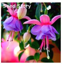 100Pcs Fuchsias bonsai Potted Flower Diy Plants For Garden Flowers Bell Flower - $2.81