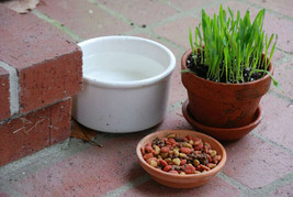 200+CAT GRASS Organic Sprouting Seeds Pet Diet Digestive Aid Kitchen Window EASY - $2.75