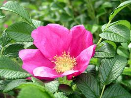 25 Rosa rugosa Seeds, Beach rose Seeds - $7.00