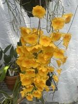 "Whopper Dendrobium aggregatum Bloom size 6"" wood slat basket LARGE SPECIES image 2"