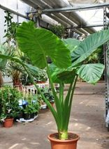 Plant Alocasia - 'Calidora' - Persian Palm - Elephant Ear (It's not seeds) - $27.29