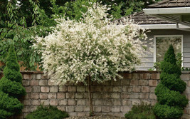 Japanese Dappled Nishiki Willow shrub/tree quart pot image 1