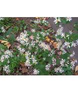 Organic Native Plant, White Wood Aster,  - $3.50