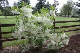 White Fringe tree quart pot image 4