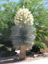 15 Seeds Yucca RIGIDA, Blue YUCA - $20.96