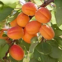 5 Seeds, Prunus armeniaca mandshurica/Mandchurian Apricot (ds) - $12.95