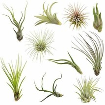 SALE 10 Pack Assorted Tillandsia-Easy Care Collection Air Plants FREE SH... - $29.11