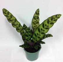 Houseplant Rattlesnake Plant Indoor Decor Flower Garden Patio Home Offic... - €12,20 EUR