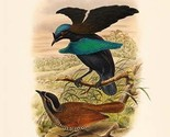 Lophorhina Minor - Lesser Superb Bird of Paradise by John Gould - Art Print