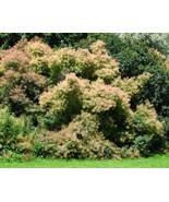Pink flowered smokebush cotinus coggygria 3 640x512 thumbtall