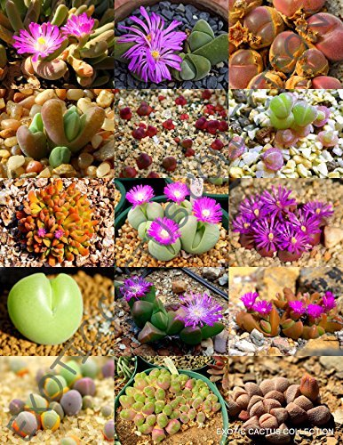 Primary image for 15 Color GIBBAEUM Mix Seeds