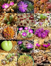 15 Color GIBBAEUM Mix Seeds - $13.86
