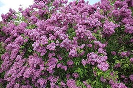 """14-20"""" - Potted Plant The Most Fragrant Lilac - Purple Old Fashion Lilac... - $46.43"""