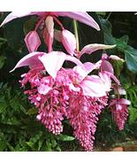 100pcs Medinilla Magnifica Bonsai Flower Seeds Very Admirable IMA1 - $14.99