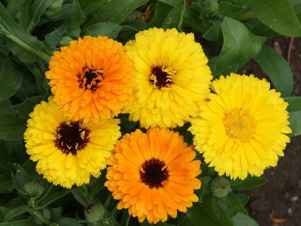 Primary image for SHIP FROM US 280 Calendula Fiesta Gitana Mix, ZG09