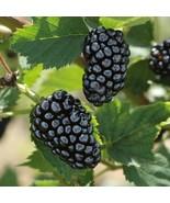 Rubus fruticosa Blackberry Natchez thornless Live plant For Garden #TkGr... - $43.00