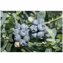 1 Plant  Toro Blueberry Bush Hardy Perennial 1 Gallon Pot FREESHIP - $81.00