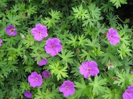Live Plant - Hardy Geranium - $21.99