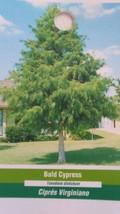 Bald Cypress Tree 4-6 FT Live Healthy Shade Tree Plants Shipped To All 50 States - $96.95