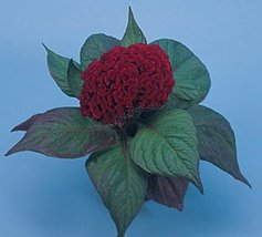50 Seeds of Celosia Amigo Series Mahogany Red Annual - $16.83