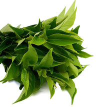 Live Camellia Plant Sinensis Tea Garden Black White Green & Oolong Best ... - $110.00