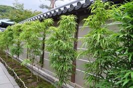"Box of 4 -Bambusa ""Lady Finger"" Clumping Non-Invasive Bamboo Plant –5+ F... - $185.00"