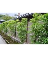 "Box of 4 -Bambusa ""Lady Finger"" Clumping Non-Invasive Bamboo Plant –5+ Feet Tall - $1,000.00"
