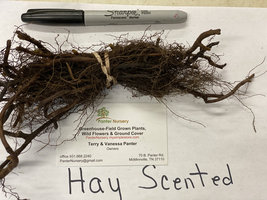 5 Hay Scented Fern clumps (Dennstaedtia punctilobula) image 5